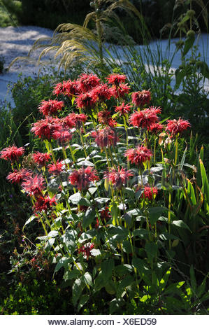 Monarda didyma, Bee balm - Stock Photo