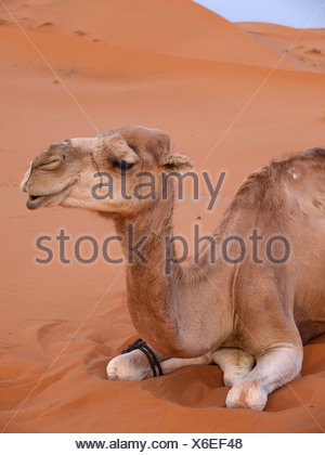 Portrait of a resting Dromedary or Arabian Camel (Camelus dromedarius), in the sand dunes of the Erg Chebbi Desert - Stock Photo
