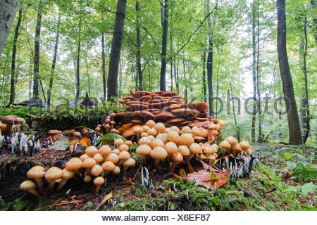 Conifer Tuft (Hypholoma capnoides) in autumnal forest, Hesse, Germany - Stock Photo