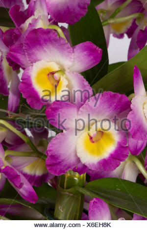 Noble dendrobium, Dendrobium nobile, a pink flowering cultivated orchid with pseudobulbs formed in the stems - Stock Photo