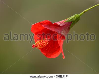 Red hibiscus flower (Hibiscus rosa-sinensis), Stuttgart, Baden-Württemberg, Germany - Stock Photo