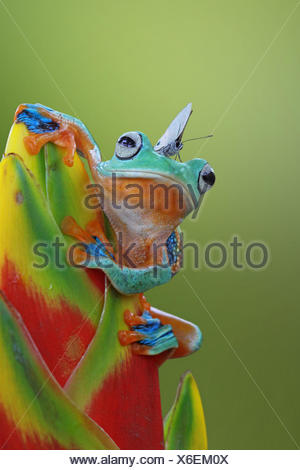 Butterfly sitting on a Javan tree frog on a flower, Indonesia - Stock Photo