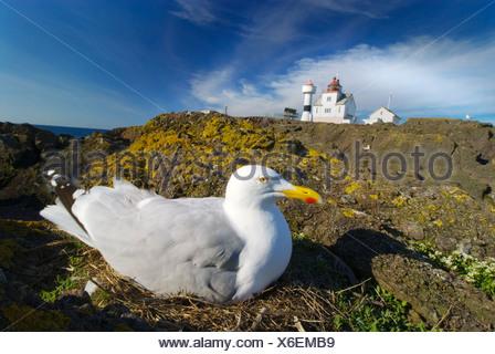 Breeding Herring Gull, Norway. - Stock Photo