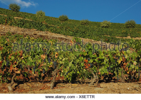 Winegrowing in the Vale Mendiz, production of red wine and port on the Quinta do Passadouro,  Region, North Portugal, Europe - Stock Photo