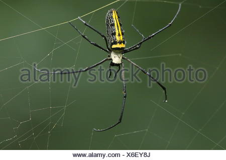 Close up of a golden orb-web spider, Nephila pilipes, on web. - Stock Photo