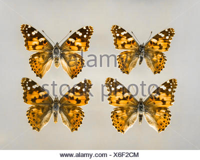 Four brush-footed butterflies - Stock Photo