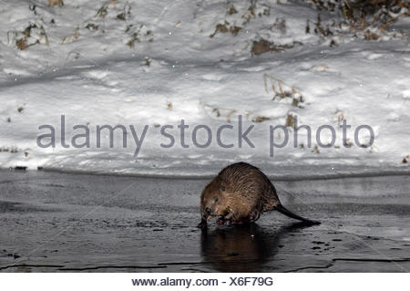 European Beaver, Rosenheim, Bavaria, Germany, Europe / (Castor fiber) - Stock Photo