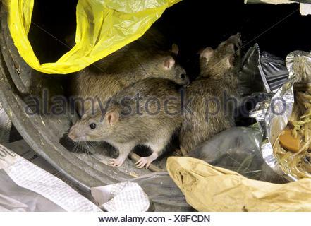 Brown Rat - Rattus norvegicus - Stock Photo