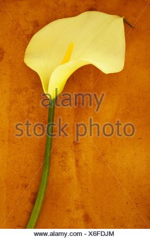 Arum lily Zantedeschia aethiopica 'Crowborough'. Studio shot of  single creamy white flower on long green stem lying on beige - Stock Photo