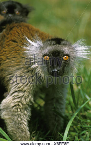 Black Lemur, eulemur macaco, Female