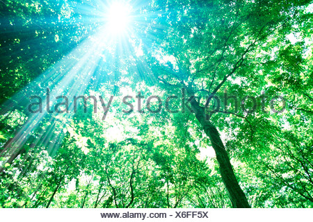 Sunlight shining through trees in forest, low angle view - Stock Photo