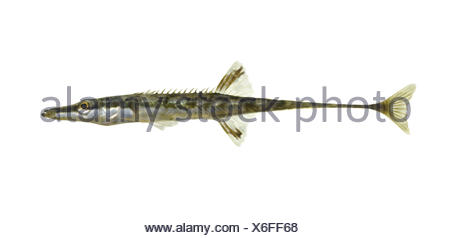 Fifteen-spined Stickleback - Spinachia spinachia - Stock Photo