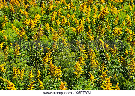 Goldenrod flowers. - Stock Photo