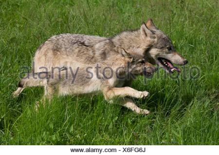 Wolf Pup and parent (Canus lupus) running in Boundary Waters Canoe Area, Minnesota, USA, North America - Stock Photo