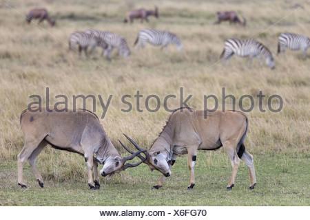 Common Eland (Taurotragus oryx) two immature males fighting in savannah with Common Zebra (Equus quagga) and Topi (Damaliscus - Stock Photo