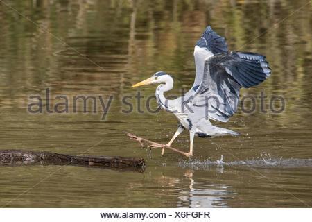Grey Heron (Ardea cinerea) landing on dead wood in water, Hesse, Germany - Stock Photo
