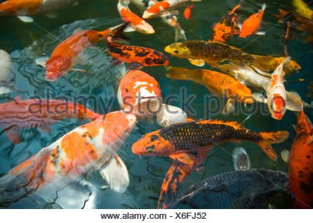 Goldfish (Carassius auratus) in a fish pond - Stock Photo