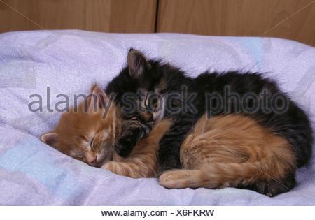 Norwegian Forest Cat - Stock Photo