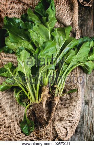 Bunch of young sugar beet roots with soil and haulm over sacking. Top view. - Stock Photo