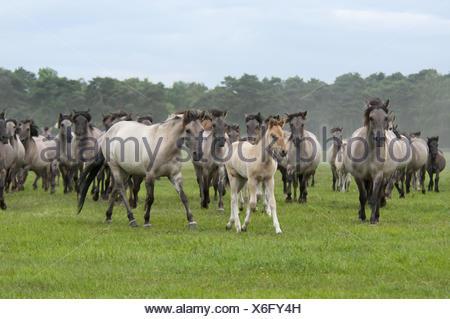 Wild herd of Duelmen Ponies with foals, Germany - Stock Photo