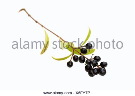 European Privet, berries / (Ligustrum vulgare) / Wild Privet, Common Privet - Stock Photo