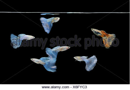 group of red and blue guppies swimming - Stock Photo