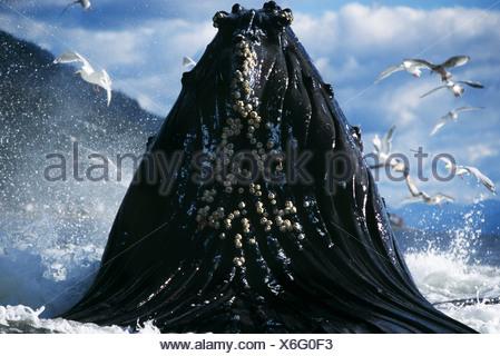 Humpback Whale lunge feeding, Tenakee Inlet, Southeast Alaska - Stock Photo