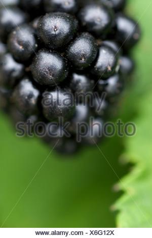 Manderow, Germany, a mature black blackberries on the bush - Stock Photo