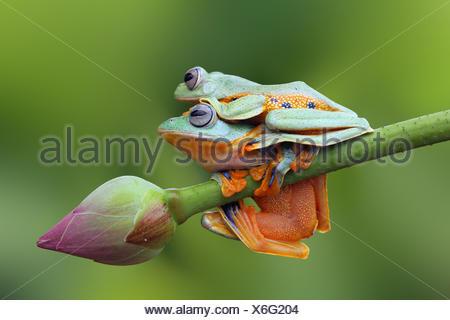 Flying frog, sitting on top of a Javan tree frog on a lotus flower bud - Stock Photo