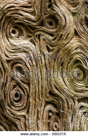 close-up detail of centuries old oak named after wodan - Stock Photo