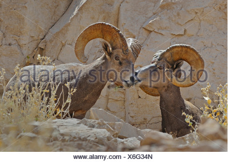 Desert Bighorn Sheeps, Ovis canadensis nelsoni, Lake Mead, Black Canyon, USA, Nevada - Stock Photo