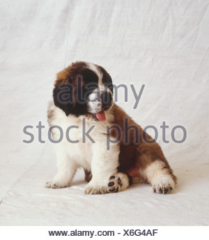 Brown and white St Bernard puppy sitting, pink tongue out, looking to side. - Stock Photo