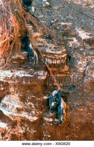 common guillemot (Uria aalge), bird mummys on a bird rock on Helgoland, Germany, Schleswig-Holstein, Heligoland - Stock Photo