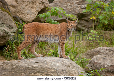 Eurasian Lynx (Lynx lynx) standing on a rock, captive, Bavarian Forest National Park, Bavaria, Germany - Stock Photo