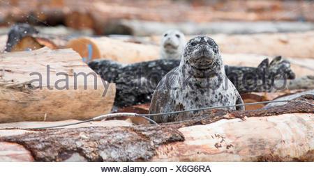 Harbor seals (Phoca vitulina) resting on a log boom. - Stock Photo