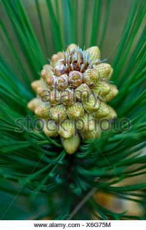 Bosnian Pine (Pinus heldreichii, Pinus leucodermis), male flowers in bud - Stock Photo
