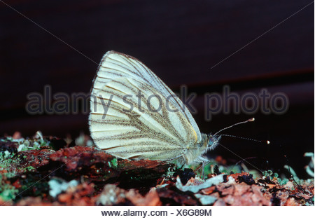 Dark-veined White (Pieris bryoniae, Artogeia bryoniae), sitting on bark, Germany - Stock Photo