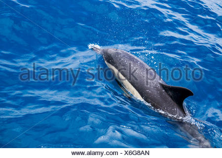 Common dolphin in the water, Delphinidae - Stock Photo
