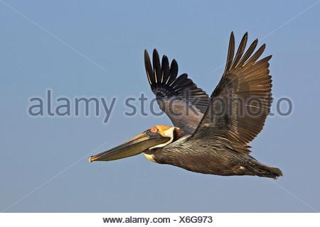 brown pelican (Pelecanus occidentalis), flying, USA, Florida, Everglades National Park - Stock Photo