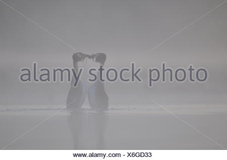 Parade of Great Crested Grebes in the mist - Grandlieu France - Stock Photo