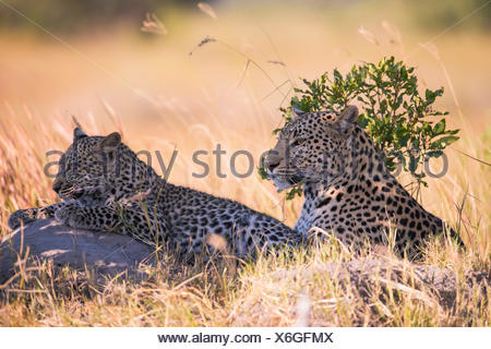 Leopard (Panthera pardus), female with her seven month old cub - Stock Photo