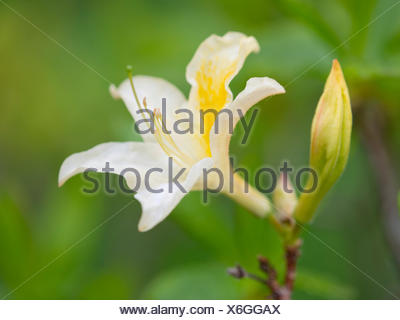 Yellow Azalea or Honeysuckle Azalea (Azalea pontica syn Rhododendron luteum), flowering, Thuringia, Germany - Stock Photo