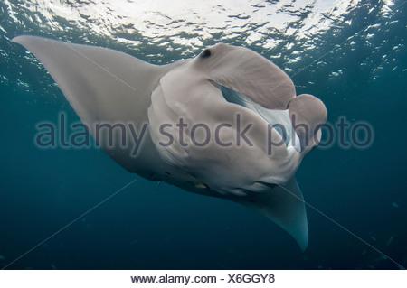 Manta ray, Palau (Manta birostris) - Stock Photo