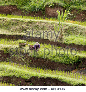 Rice terraces near Ubud, central Bali, Bali, Indonesia, Southeast Asia - Stock Photo