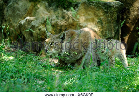 Eurasian lynx, Lynx lynx, mother animal, young animal, - Stock Photo