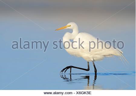 Great Egret (Casmerodius albus, Egretta alba), Florida, United States - Stock Photo