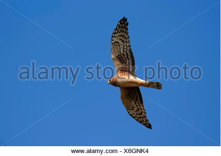 Hen Harrier or Northern Harrier (Circus hudsonius, Circus cyaneus hudsonius), female, in flight, Florida, United States - Stock Photo