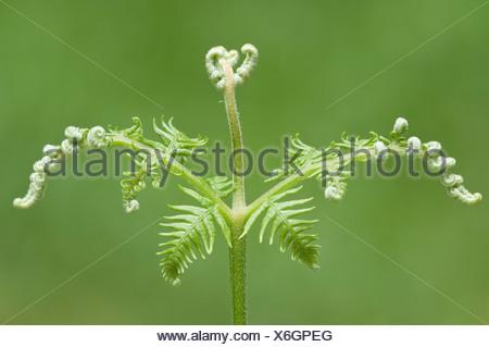 Common bracken (Pteridium aquilinum), Tinner Loh, Haren, Emsland, Lower Saxony - Stock Photo