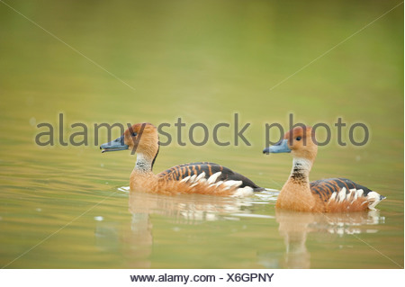 Fulvous Whistling Duck Dendrocygna bicolor UK - Stock Photo