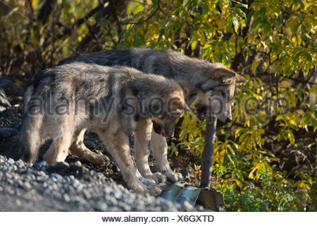 Wolf, Canis lupus, pup of Grant Creek pack chews on culvert marker, Denali National Park, Alaska, horizontal, wild - Stock Photo